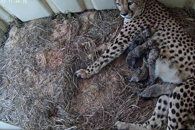 Cool cats: Cheetah cubs born at Smithsonian Conservation Biology Institute